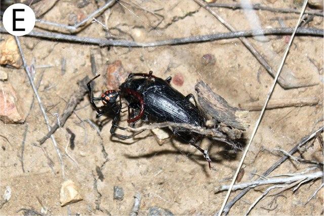 Самка каракурта с жуком