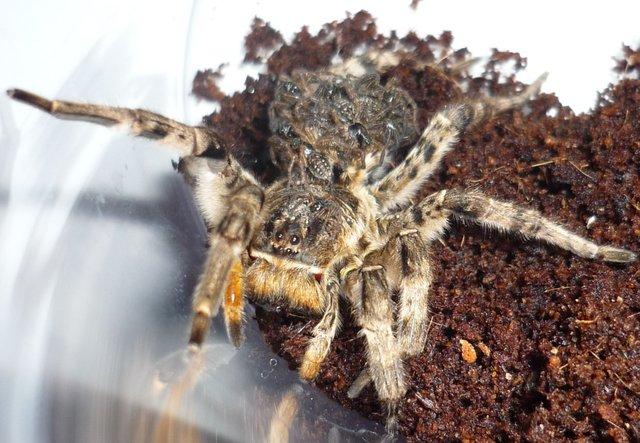 Самка тарантула с молодняком