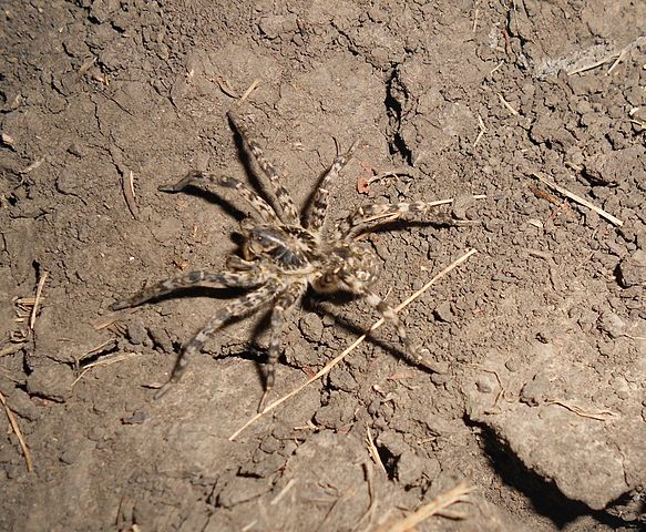 Самец южнорусского тарантула