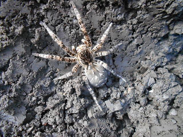 Самка южнорусского тарантула
