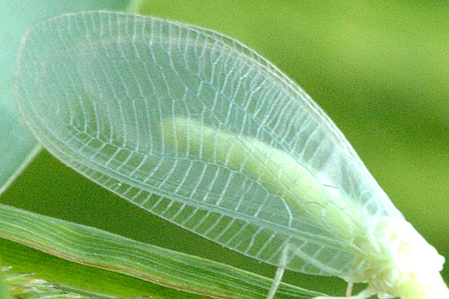 Крылья златоглазки