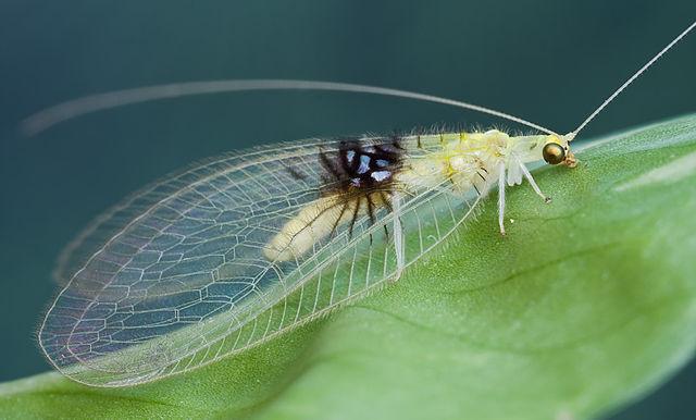 Semachrysa jade самка